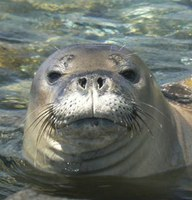 Feds plan to euthanize aggressive monk seals