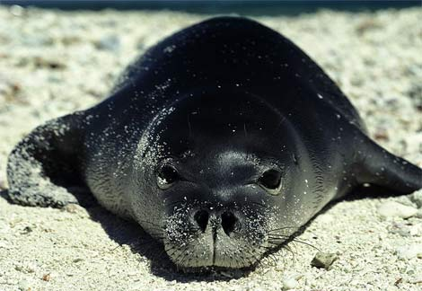 Monk Seals Save the Beach!