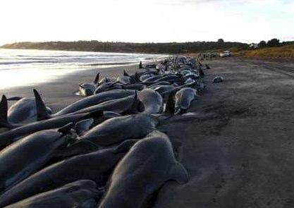 dolphins in Tasmania victims of sonar confusion